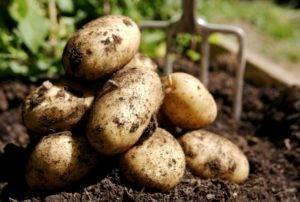 Описание сорта картофеля сказка с фото и сравнительные характеристики других видов