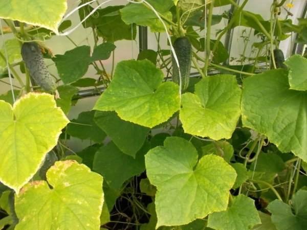 Болезни рассады огурцов: основные заболевания, поражающие молодые растения на подоконнике и в теплице