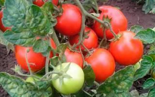 Выбираем лучшие томаты, устойчивые к фитофторозу для подмосковья