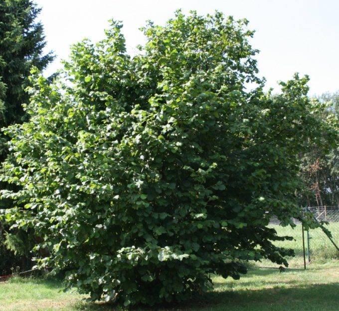 Лещина — лесной орех,выращивание уход и размножение, фото и видео