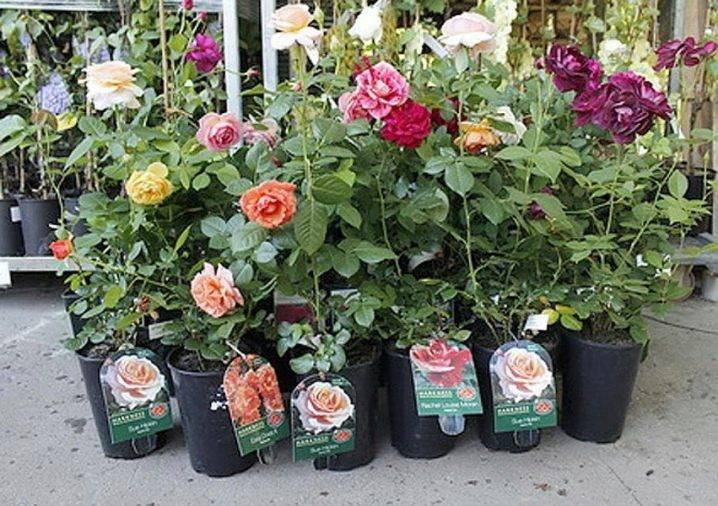 Что такое полиантовые розы? как их сажать и ухаживать за ними?