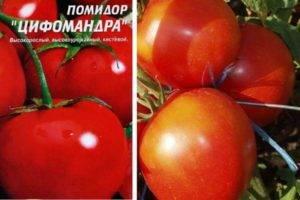 Томат цифомандра: описание, отзывы, фото, урожайность