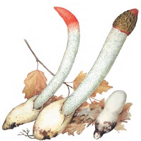 Описание гриба мутинус собачий