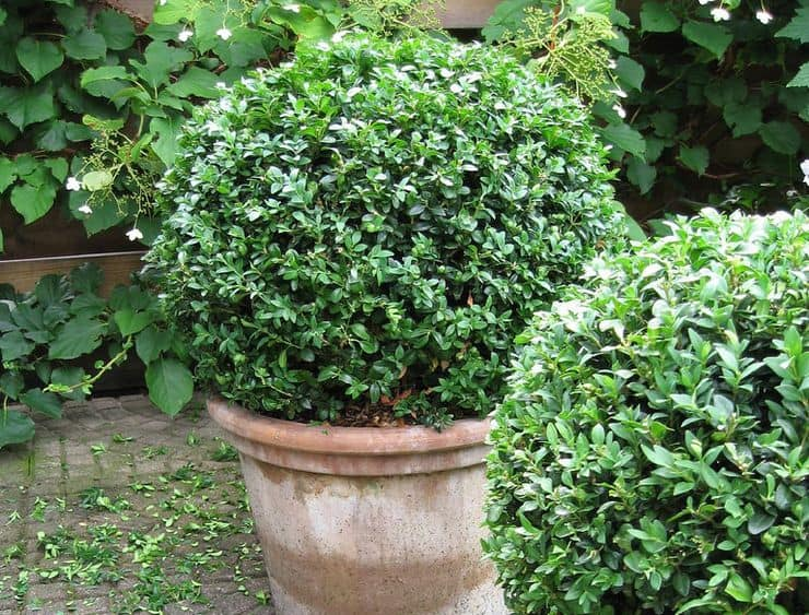 Колхидский самшит: особенности растения