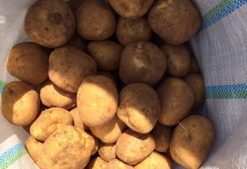 Картофель «венета»: описание сорта, фото, отзывы