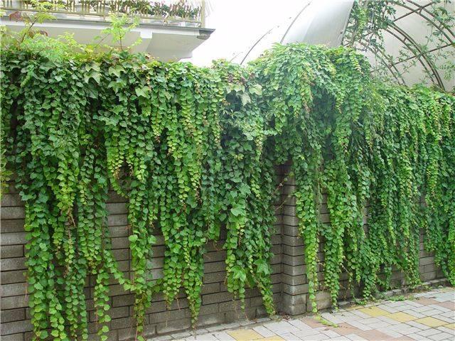 Плющ садовый вечнозеленый посадка и уход открытом грунте, фото, размножение, сорта, выращивание и сочетание в ландшафтном дизайне