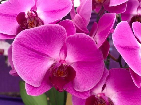 Расцветки орхидей фаленопсис и фото: оранжевый в крапинку, шоколад, необычный голубой, редкий зеленый, фиолетовый, пятнистый бордовый и другие разновидности