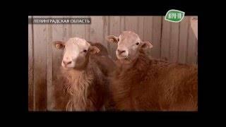 В ленинградской области вывели новую породу овец — катумскую