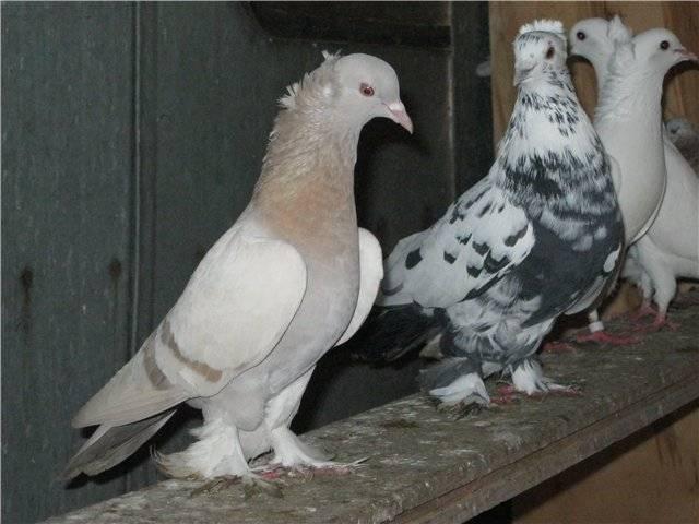 Бойные голуби (17 фото): ленинаканские и таджикские породы, чебаркульские и иранские разновидности, названия распространенных в россии видов, моздокские и кавказские птицы