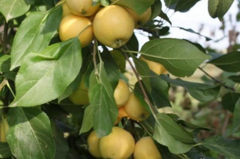 Описание сорта яблони уралец: фото яблок, важные характеристики, урожайность с дерева