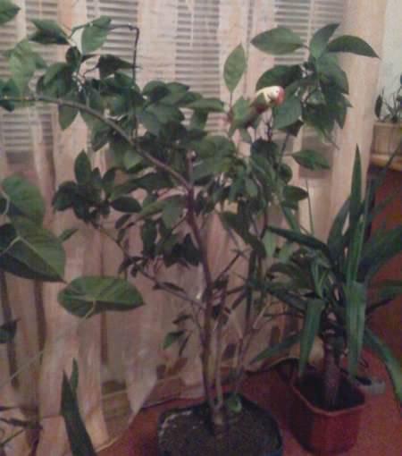 Как вырастить мандариновое дерево из косточки в домашних условиях?