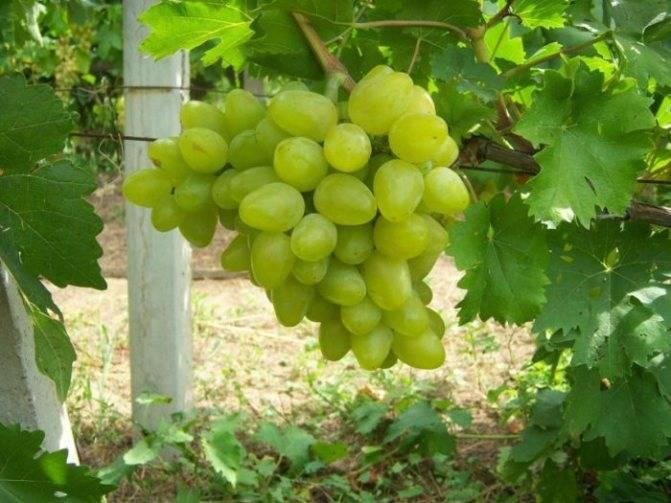 Сорта винограда для вина: самое полное описание популярных видов