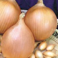Лук центурион: характеристика и описание гибрида, выращивание и уход