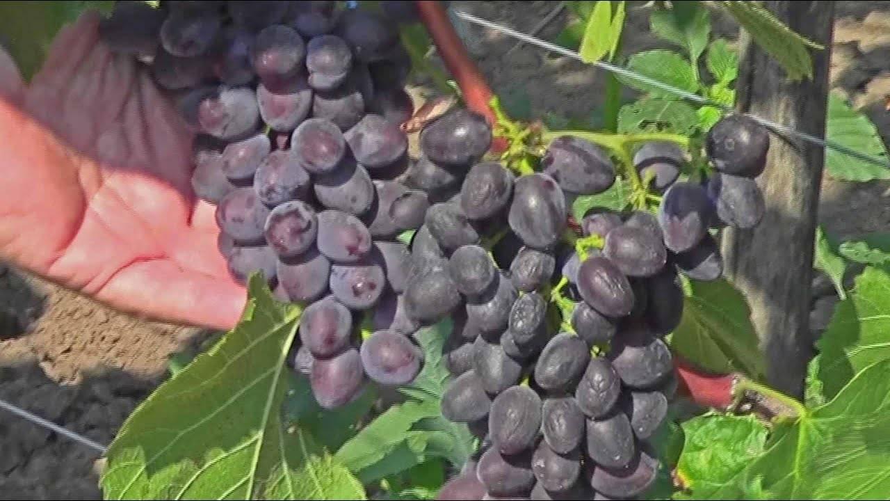 Сезон винограда в сша, размышления о сортах