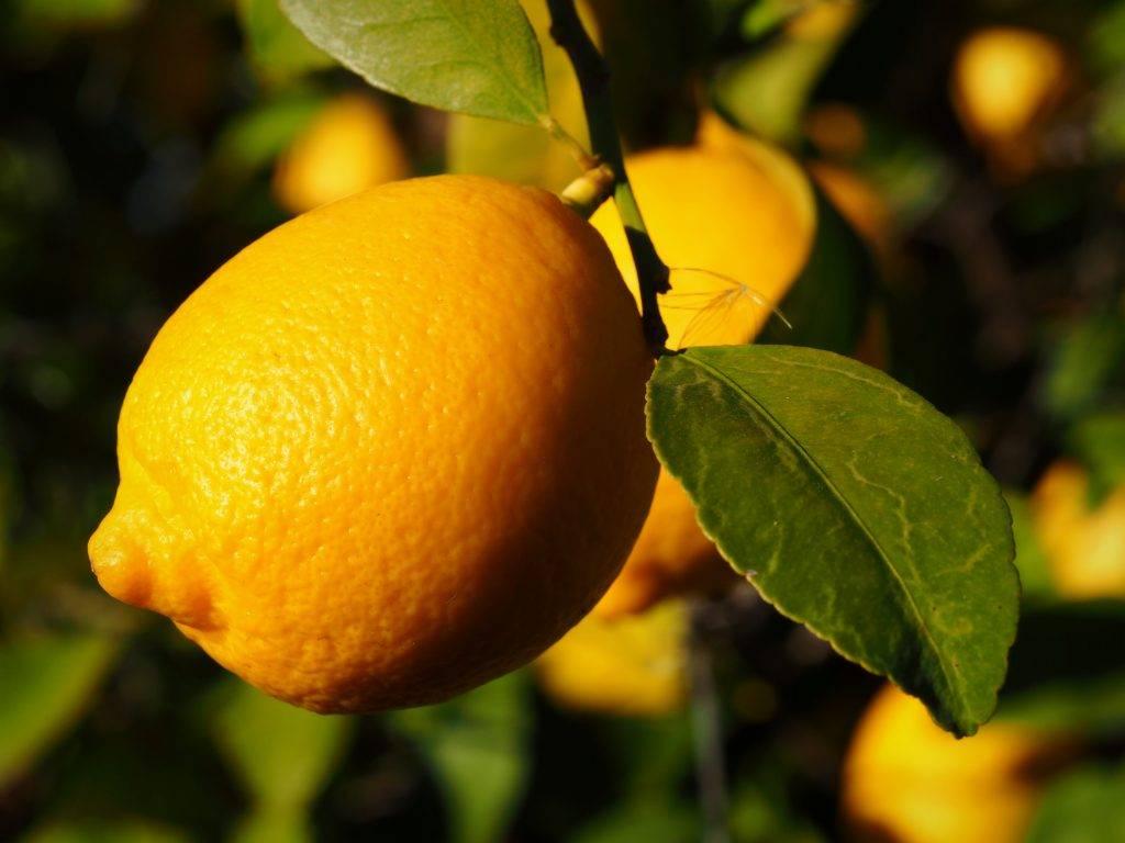 Описание лимона сорта Лисбон