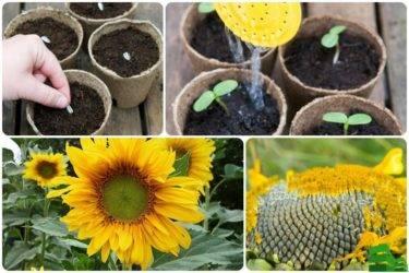Все о посадке декоративного подсолнуха: как ухаживать, выращивание из семян