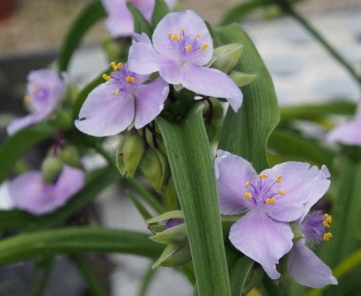 Традесканция комнатная - уход в домашних условиях, выращивание, описание