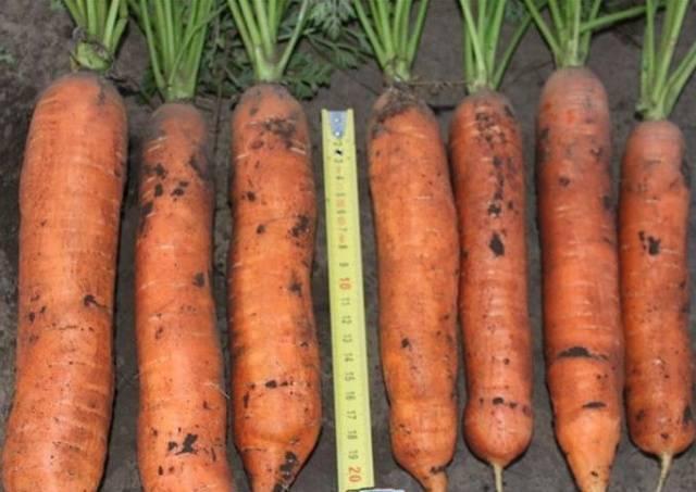 Морковь балтимор f1 описание фото отзывы |