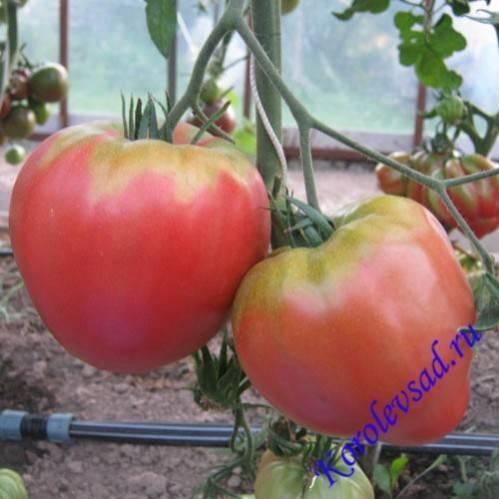 Сорт томата хурма: особенности выращивания