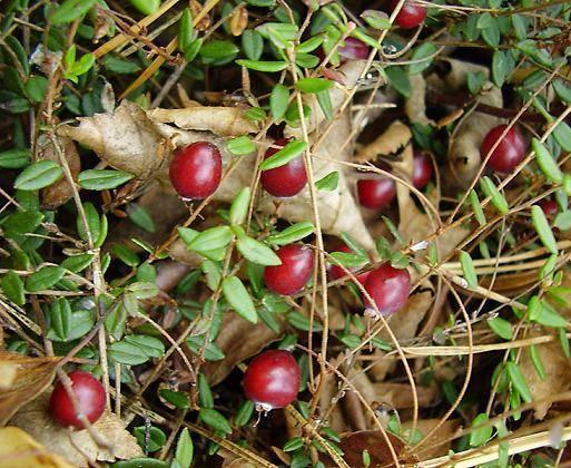 Клюква — посадка и уход в открытом грунте