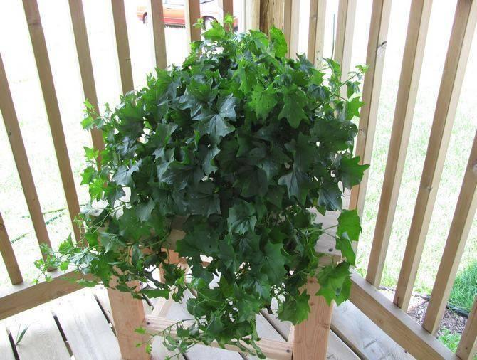 Циссус (комнатный виноград): фото, уход в домашних условиях