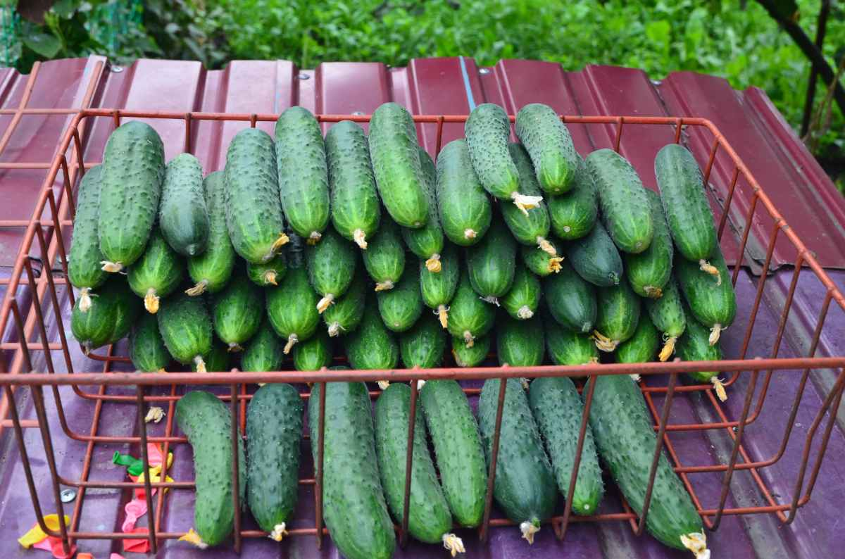 Описание сорта огруцов Паратунка F1 — как поднять урожайность