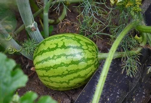 Выращивание арбузов в подмосковье: как вырастить в открытом грунте и теплице, посадка, уход, а также лучшие сорта для данного региона