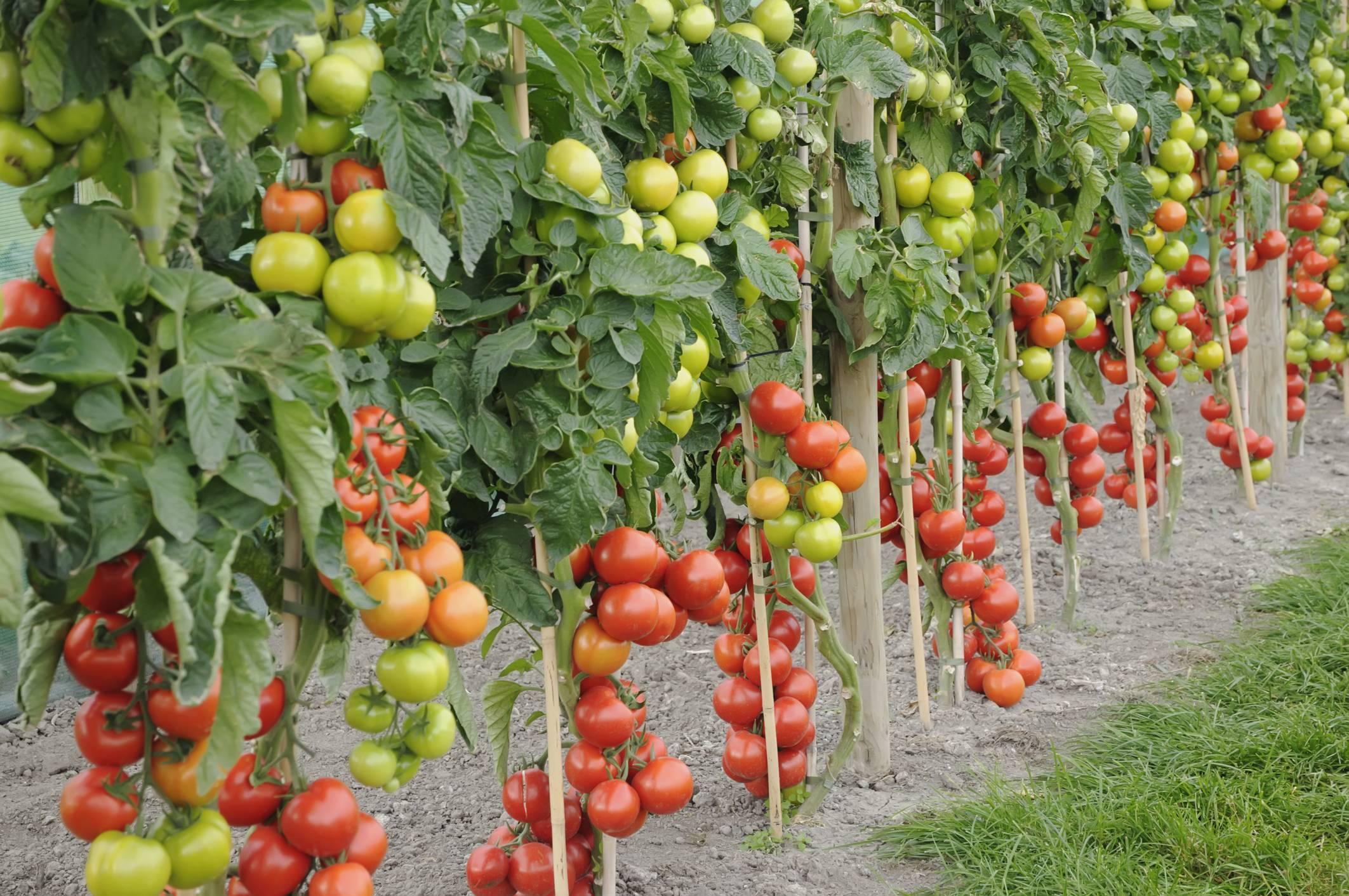 Как подвязывать помидоры в теплице правильно > пошаговое видео + фото