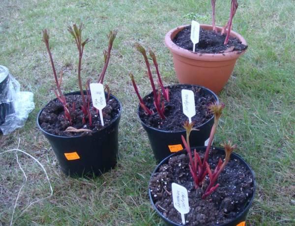 Размножение пионов: как правильно размножать стеблевыми черенками, делением