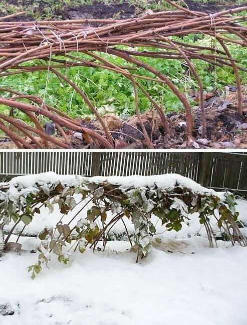 Правила ухода за малиной осенью и подготовка ее к зиме