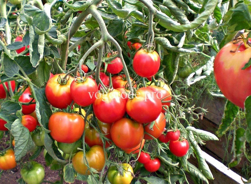 Выращивание помидоров в теплице: рекомендации для начинающих