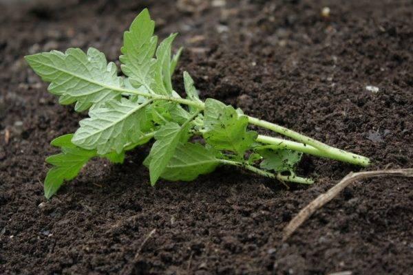 Как правильно вырастить томаты от рассады до сбора урожая пошаговая инструкция