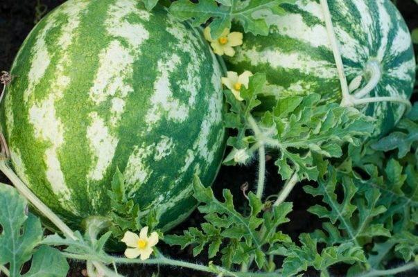 Как правильно садить арбуз: выращивание на рассаду, из семян