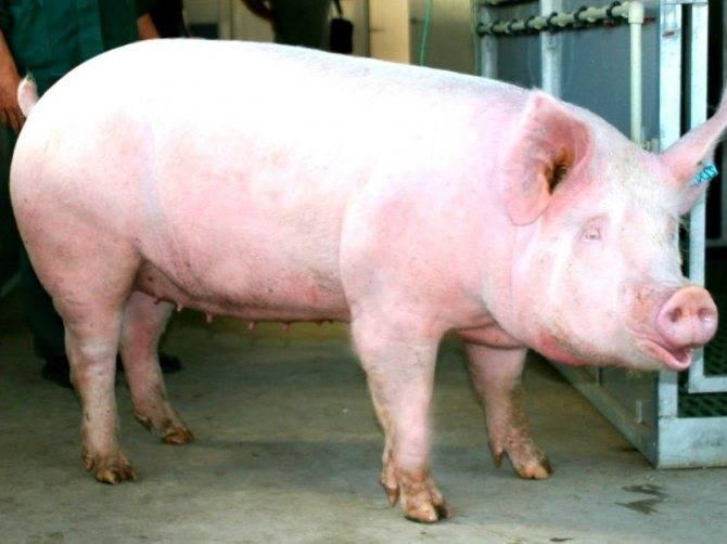 К чему снятся свиньи