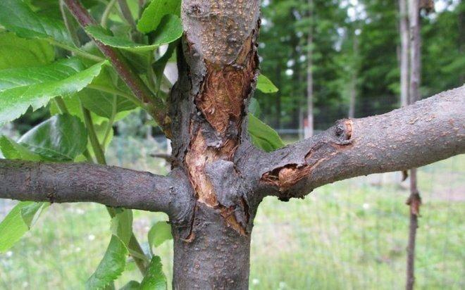Грибки на яблоне - меры борьбы и профилактика