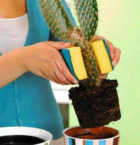 Особенности ухода за домашними любимцами – кактусами