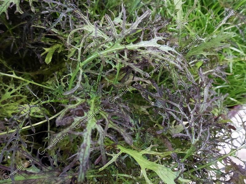 Как выращивать японскую капусту русалочка?