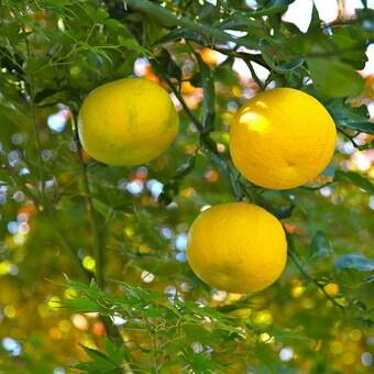Японский лимон (юзу) - вкусняха