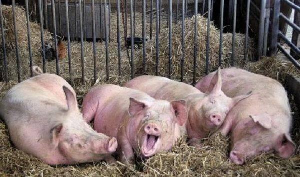 Сколько лет живут свиньи на воле и в домашнем хозяйстве