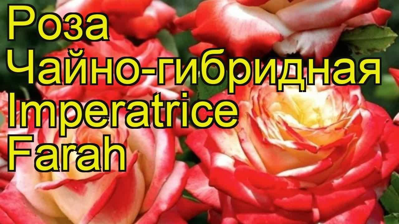 Роза императрица фарах – фото и описание, отзывы