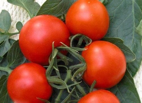 Томат верлиока — правила выращивания, характеристики и самые привлекательные сорта (105 фото)