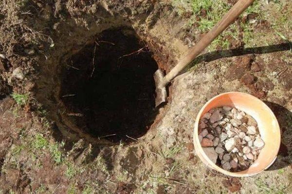 Посадка груши весной и осенью в подмосковье