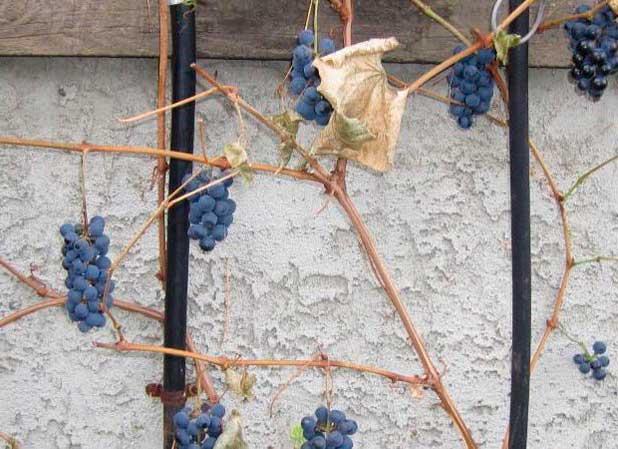 Как правильно укрыть виноград на зиму: подготовка кустов, материалы и способы
