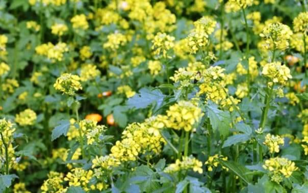 Посев горчицы для удобрения почвы осенью и весной: польза и вред, когда сажать?