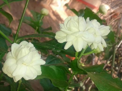 Комнатный цветок жасмин: разновидности и выращивание