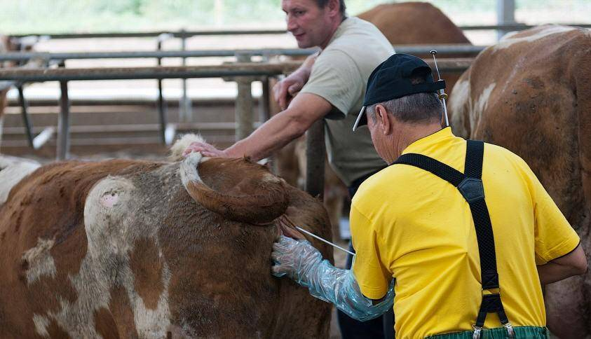 Особенности искусственного осеменения коров