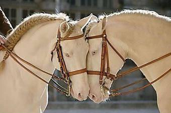 Белые кони: фото, характеристики, доминантные гены, альбиносы, породы лошадей