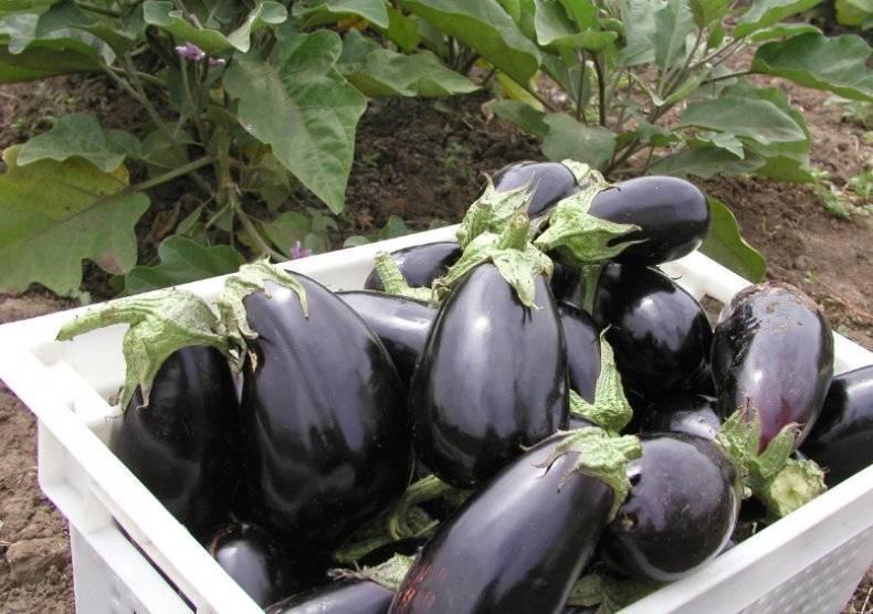 Плюсы и минусы баклажана «бибо» и руководство по его выращиванию