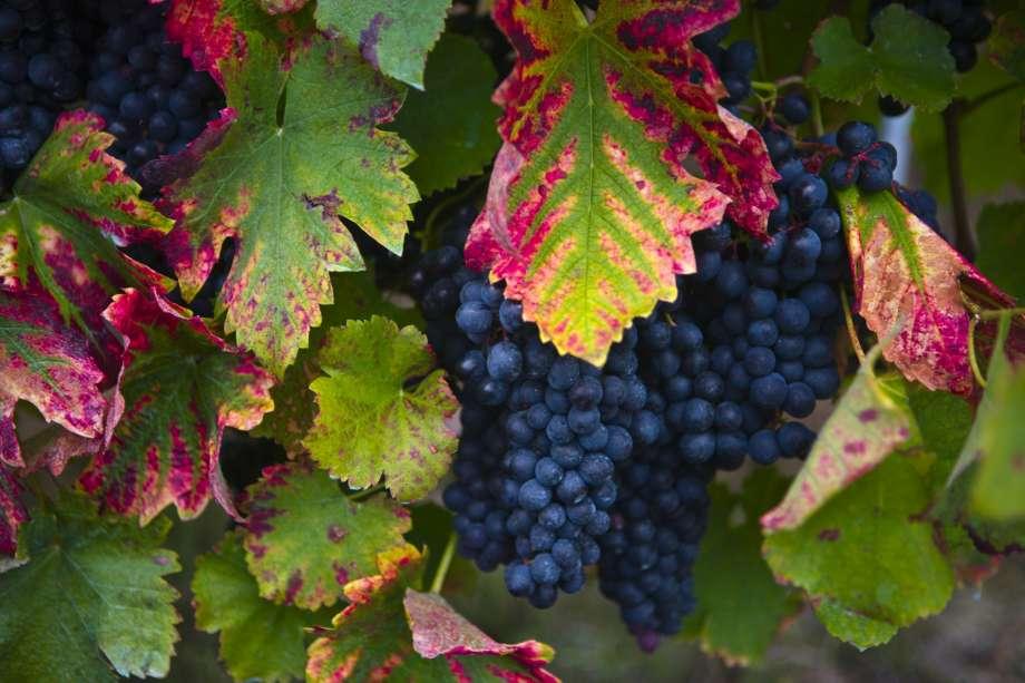 Виноград северный плечистик описание сорта фото отзывы