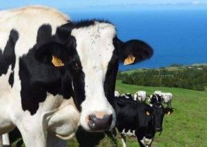 Джерсейская порода коров: характеристика буренок